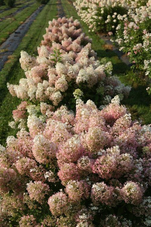 hydrangea_paniculata_bobo_img_3966.jpg
