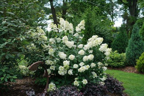 hydrangea_paniculata_fire_light_dsc00893.jpg