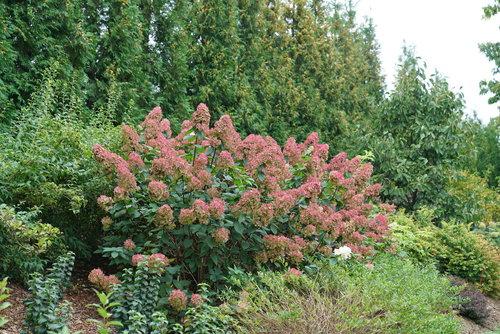 hydrangea_paniculata_fire_light_dsc02988.jpg