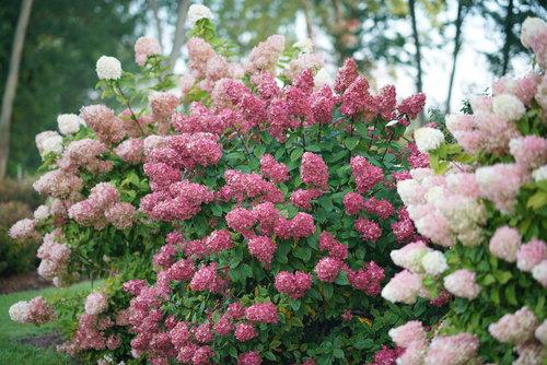 hydrangea_paniculata_fire_light_dsc09246.jpg
