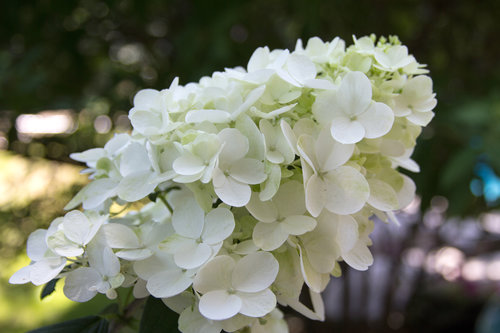 The white mophead flower of Fire Light panicle hydrangea
