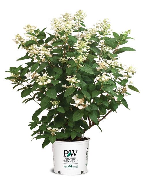 hydrangea_paniculata_quick_fire_3_gal_trans_300dpi.jpg