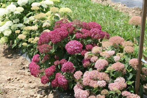 native pink hydrangea