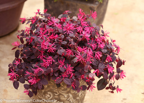 Jazz Hands Dwarf Pink Loropetalum