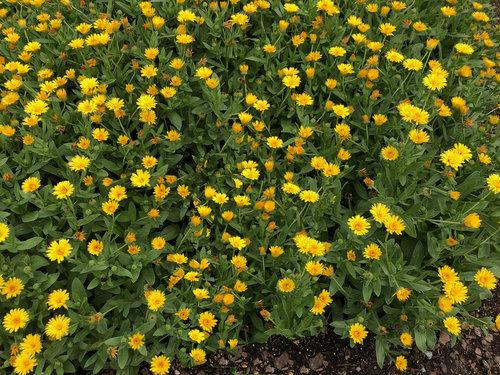 lady_godiva_yellow.jpg