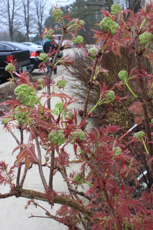 Lemony Lace sambucus - spring foliage and flowers