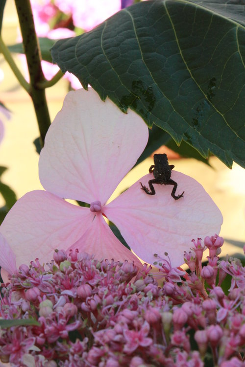 Let's Dance Diva! Hydrangea with baby toad
