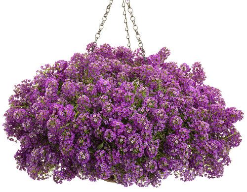 lobularia_violet_knight_basket1.jpg