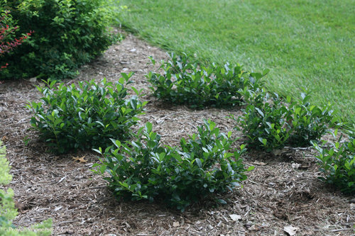 Landscape planted with Low Scape Mound Chokeberry