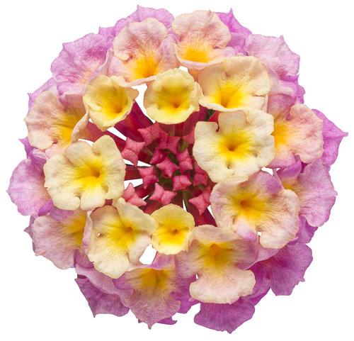 luscious_pinkberry_blend_cutout.jpg