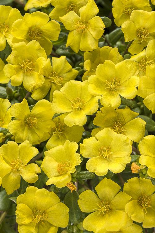 Mojave® Yellow