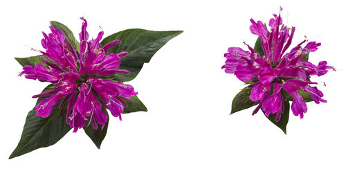 monarda-pardon-my-purple-01.jpg