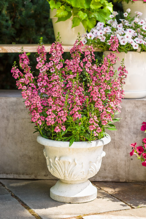Angelface® Perfectly Pink - Summer Snapdragon - Angelonia