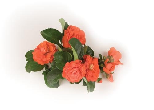 Double Take 'Orange Storm' Chaenomeles (quince)