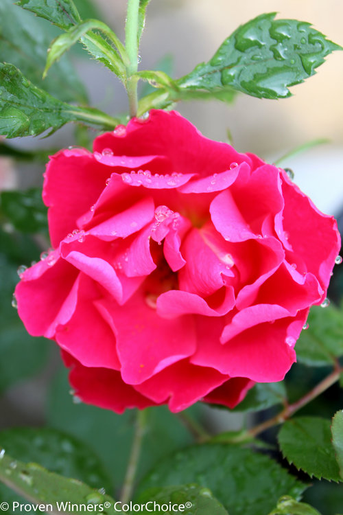 Oso Easy Double Red rose