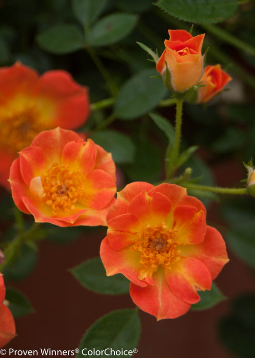 Oso Easy Paprika Rose