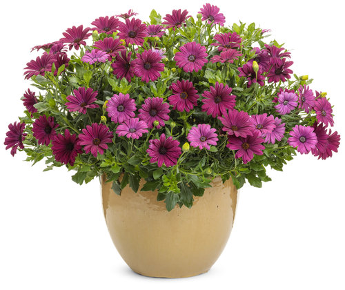 osteospermum_bright_lights_purple.jpg