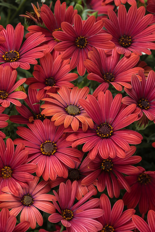 osteospermum_bright_lights_red.jpg