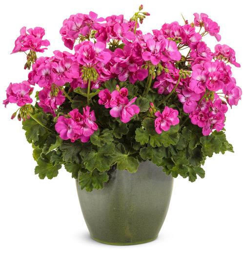 Boldly® Hot Pink - Geranium - Pelargonium