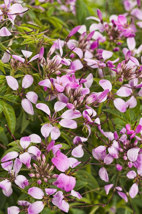 Pequeña Rosalita® - Spider Flower - Cleome