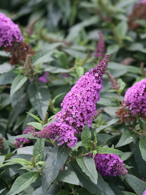 Pugster Periwinkle Buddleia flowers
