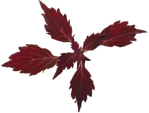 solenostemon_colorblaze_cherry_brandy_01.jpg