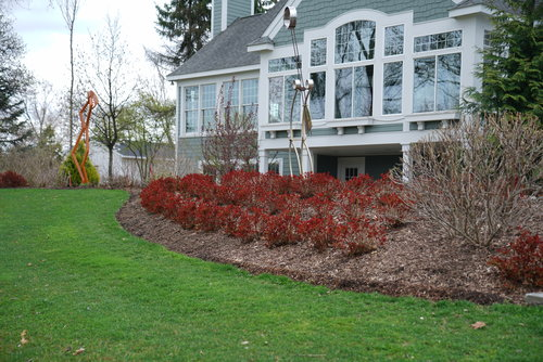 Double Play Doozie spirea in spring showing its colorful foliage emerging