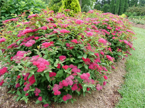 Double Play Doozie spirea blooming in June in Michigan