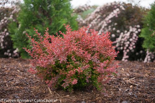 Sunjoy Cinnamon Berberis (barberry)