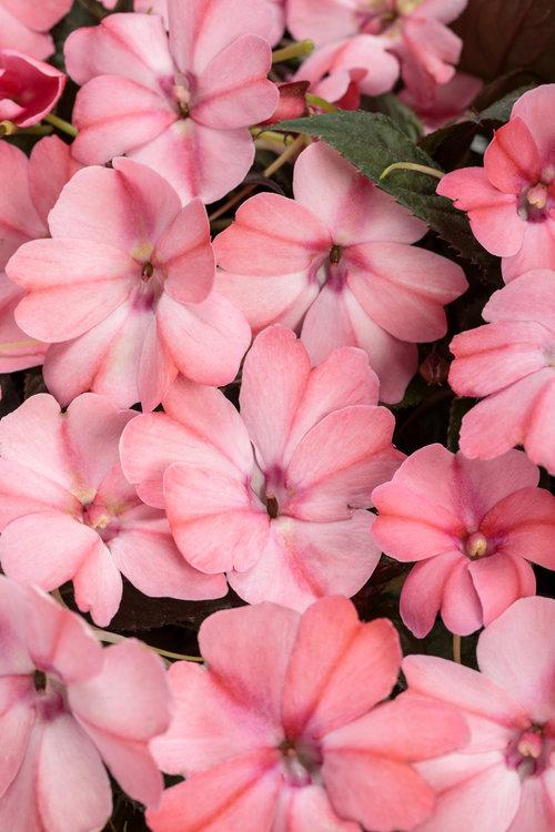sunpatiens_compact_blush_pink.jpg