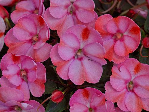 sunpatiens_compact_pink_candy.jpg