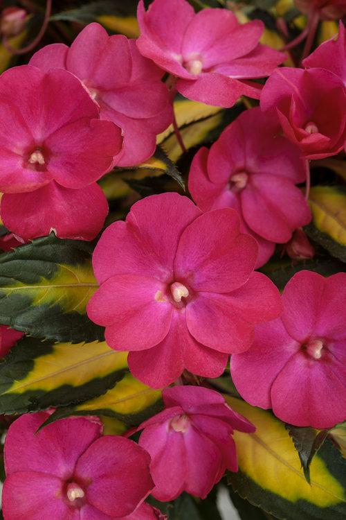 sunpatiens_compact_tropical_rose.jpg