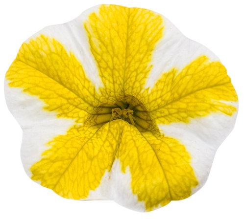 superbells_lemon_slice_bloom.jpg