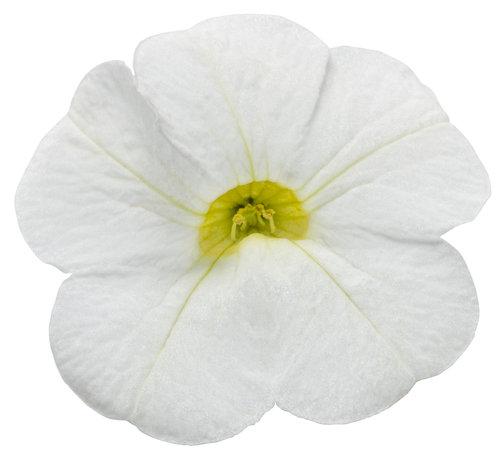 Superbells® White Imp - Calibrachoa