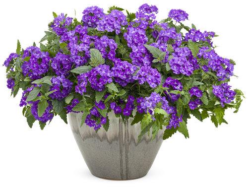 Superbena® Violet Ice mono