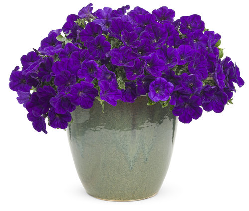 Supertunia® Mini Blue mono