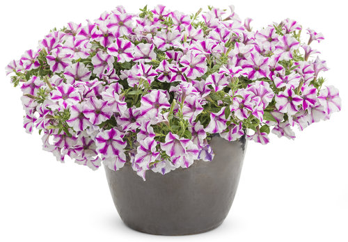 Supertunia® Lovie Dovie - Petunia
