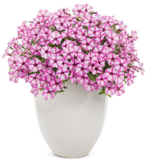 Supertunia® Pink Star Charm