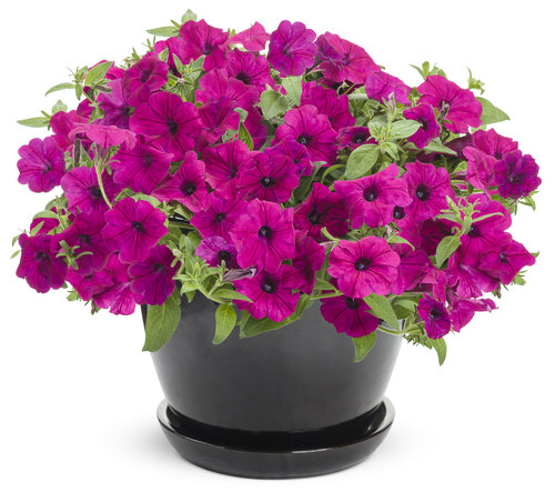 Supertunia® Royal Magenta Imp™ - Petunia