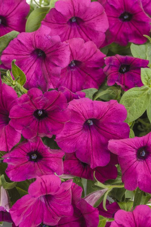 Supertunia® Royal Magenta Imp™ - Petunia