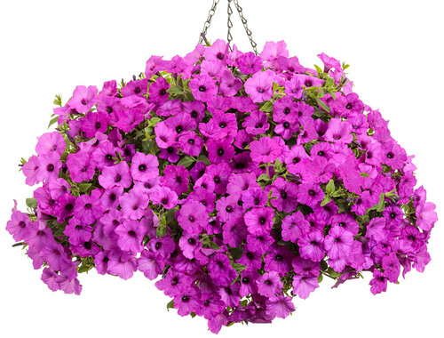 Supertunia Vista® Jazzberry™ - Petunia
