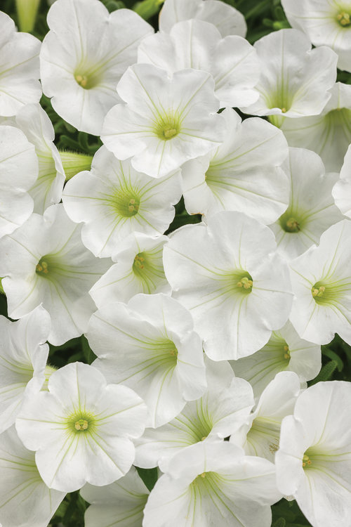Supertunia® White Charm
