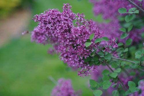 Bloomerang Dark Purple reblooming lilac