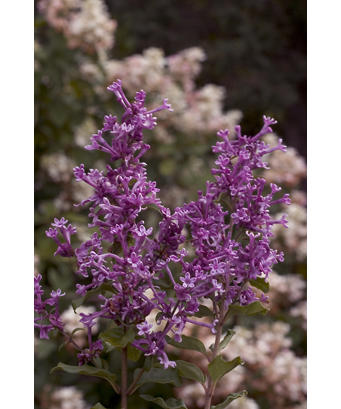 syringa_bloomerang_purple_aug08_crw_9046.jpg