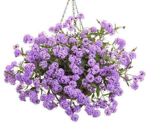 Cake Pops™ Purple - Tuberous Verbena