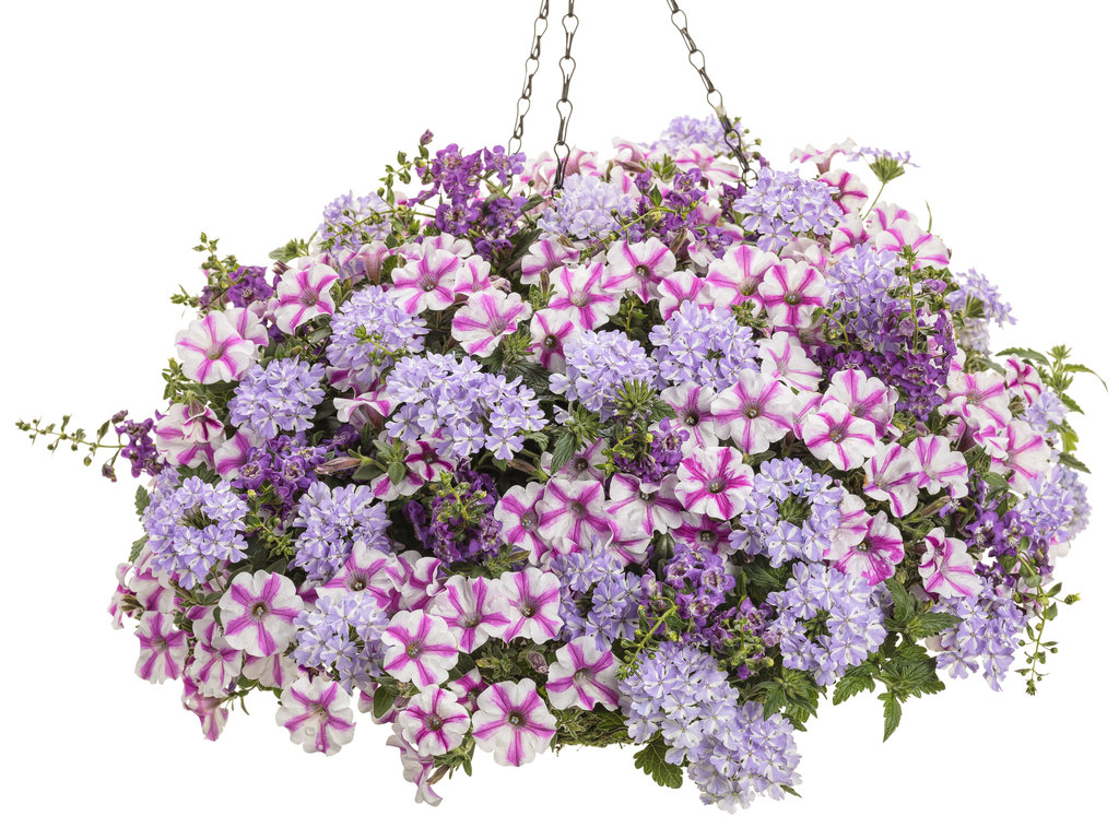 No Petunias Were Harmed In >> To Deadhead Or Not To Deadhead Proven Winners