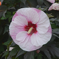Top 10 Proven Winners Hibiscus Proven Winners