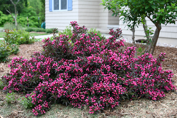 5 Top Rated Shrubs For Easy Maintenance Landscapes Proven Winners