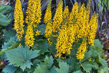 To Make A Statement And Add Some Much Needed Height The Shade Garden Plant Bottle Rocket Ligularia This Zone 4 9 Hardy Perennial Thrives In Part