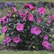 How To Grow Dinner Plate Hibiscus Proven Winners